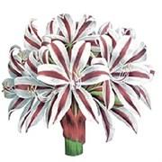 Трансфер универсальный  Полосатые лилии